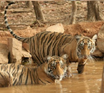 ranthambore by tempo traveller